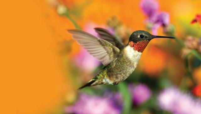 700x400-bird-hummingbird-ruby-throated-wbu5331
